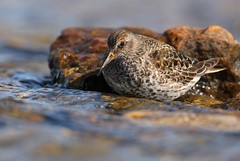 Purple Sandpiper | skärsnäppa | Calidris maritima | Sweden | May 2009