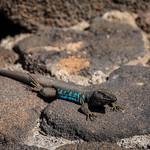 El lagarto de los volcanes
