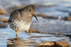 Purple Sandpiper | skärsnäppa | Calidris maritima | Sweden | January 2010