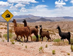 Day 601. After crossing into Argentina the road began a gradual descent. I stayed above the treeline for days, hiding in the shade of street signs when I needed to get out of the sun. Vicuñas could be seen grazing in the distance while their domesticated