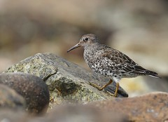Purple Sandpiper | skärsnäppa | Calidris maritima | Sweden | April 2009