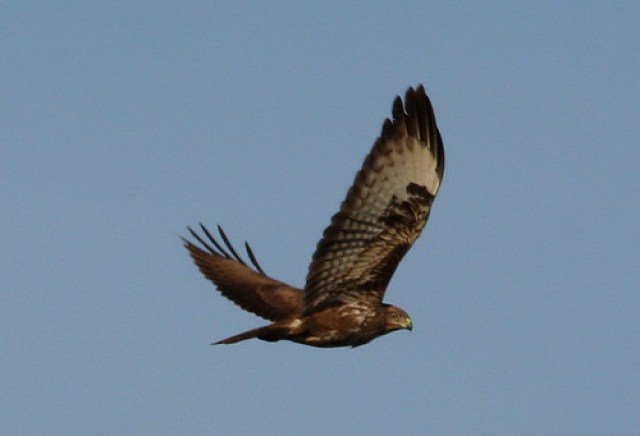 2011_01_13 AL - Common Buzzard (Buteo buteo) 01