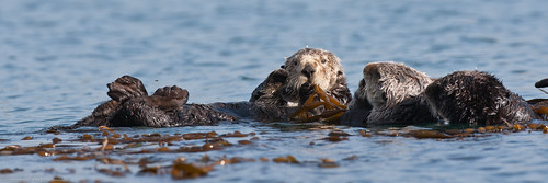 Sea Otter (Several Moms with pups) Morro Bay CA 13 Dec 2010