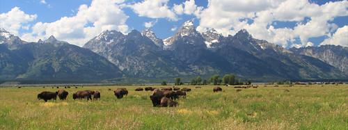 Bison near Mormon Row