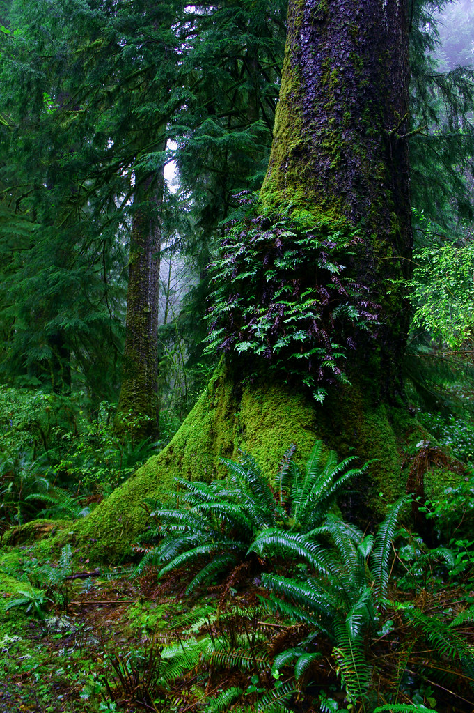 Ferns On Old Growth Tree Oswald West State Park Oregon