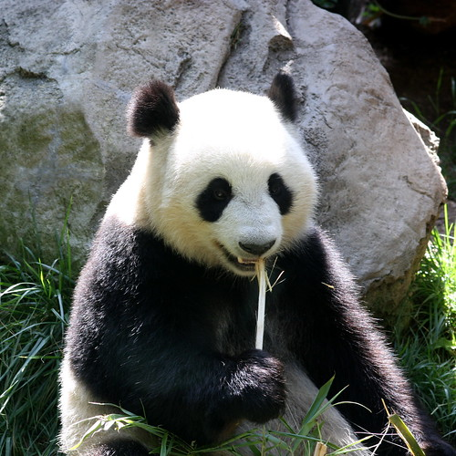 Panda by kevin dooley, on Flickr