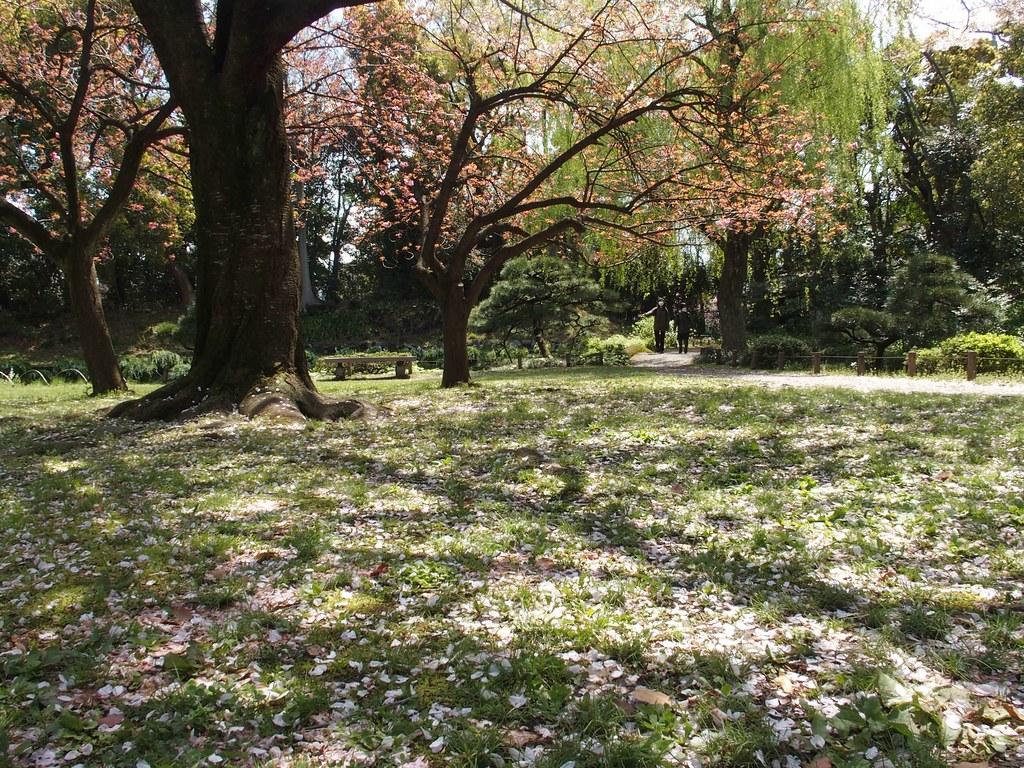桜絨毯 清澄公園