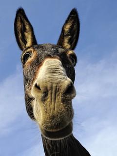 donkey in Ikaria