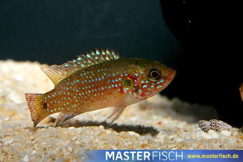 Sonstige afrikanische Fische por masterfisch