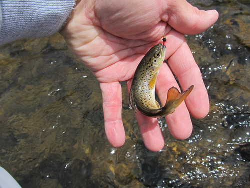 Brown Trout by fethers1