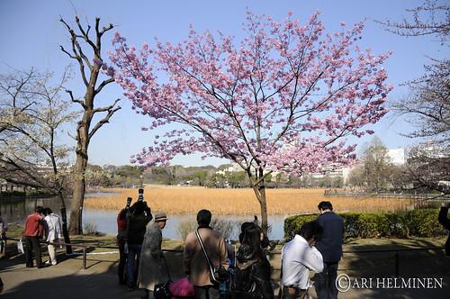 サクラ。Sakura, Ueno park. Tokyo Japan