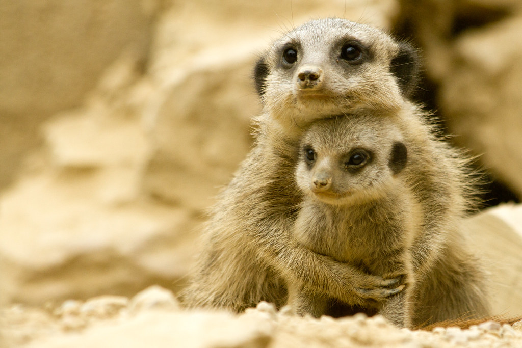 Meerkat Babies