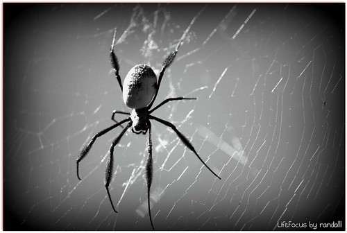 black legged orb spider(harmless)