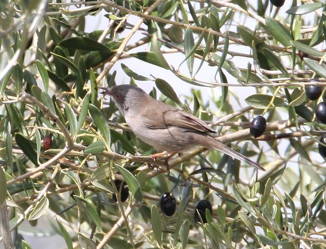Sardinian Warbler - female (Sylvia melanocephala) 02
