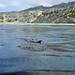 Bottlenose dolphins in kelp
