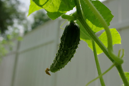 cucumbers are growing