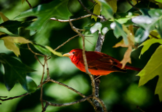 Summer Tanager-001
