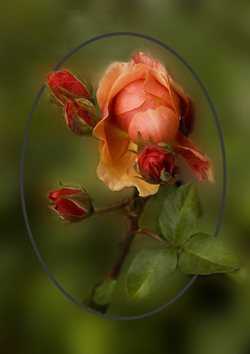 Roses Of My Heart