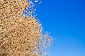 Cottonwood and New Mexico Sky