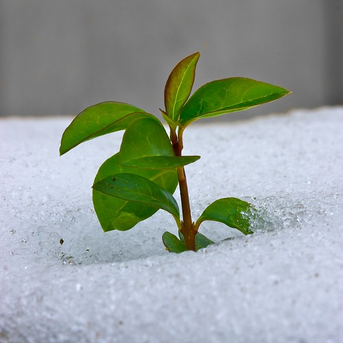 Growing through the snow