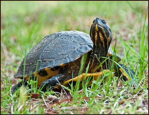 Yellow-bellied Pond Slider