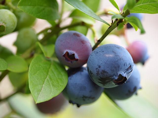 Fruits of Sharp Blue (4th season)