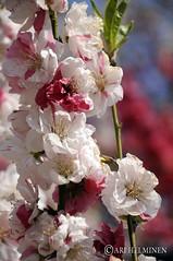サクラ Sakura 東京。日本. Tokyo Japan