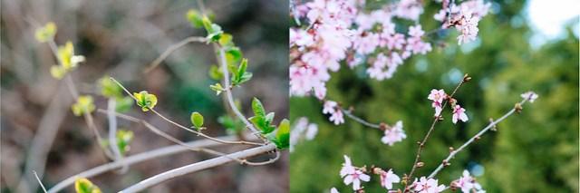 cherry blossoms [ inthiskitchen.com ]
