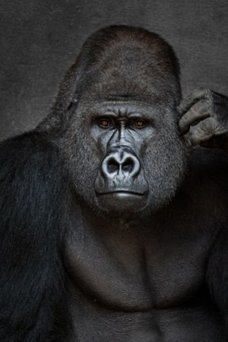A photo of a silverback gorilla