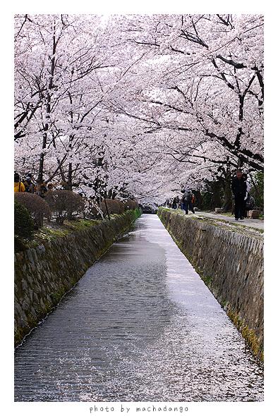 佈滿花瓣的河道