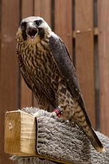 Juvenile Peregrine Falcon 3