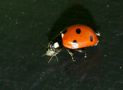7-spot ladybird attacking an aphid