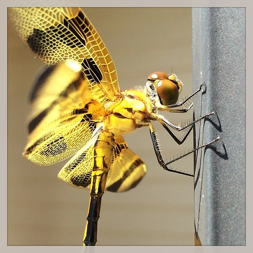 Dragonfly posing for an pic!