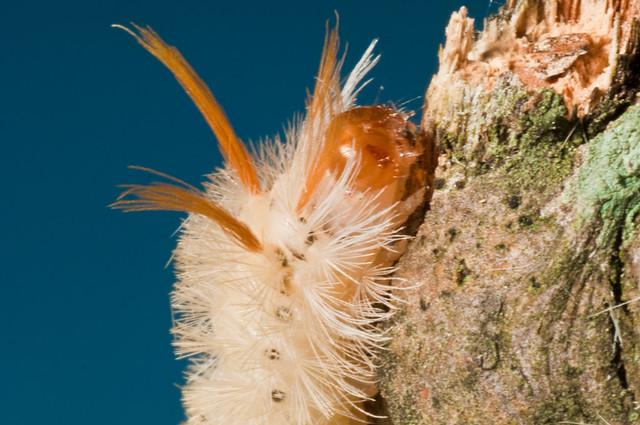 Fluffy White Caterpillar