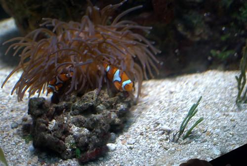 Clowns and Anemone at Baltimore Aquarium