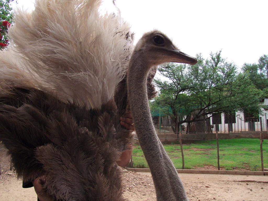 Oudtshoorn: Ostrich Farm