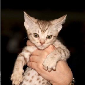 Ocicats - Adorable ocicat kitten