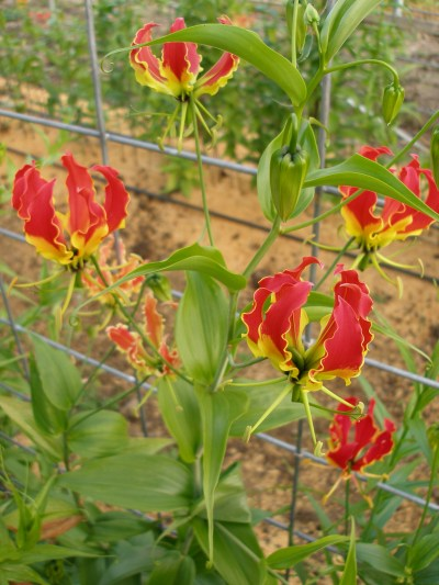 gloriosa lily vine