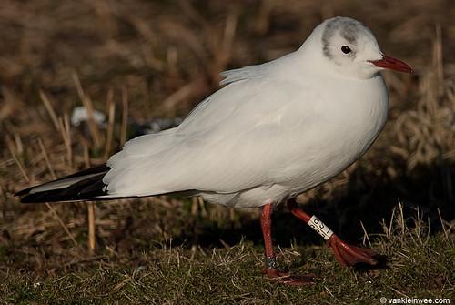 Black-headed Gull, W[LSB], 6cy, leucistic