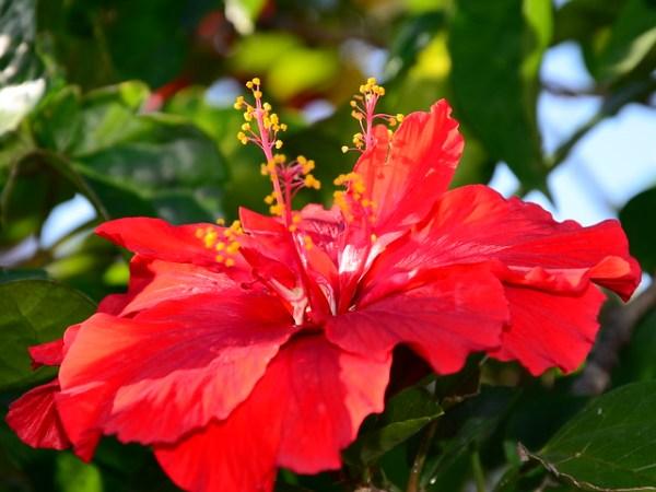 Jamaican National Flower! Flickr Photo Sharing!