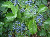 viburnum blue muffin