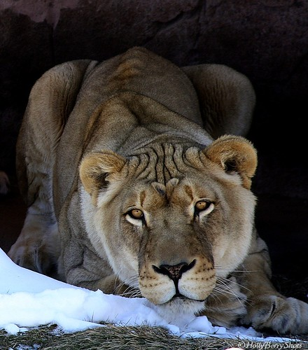 African Lion (Jerroh) by HollyBerry255
