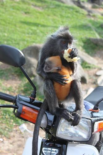 201102180848_silver-leaf-monkey-baby