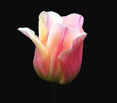 FOB : Tulpe vor Schwarz    -489/84