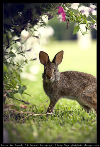 Houmas_Rabbit_03 by M.Prophet Photography