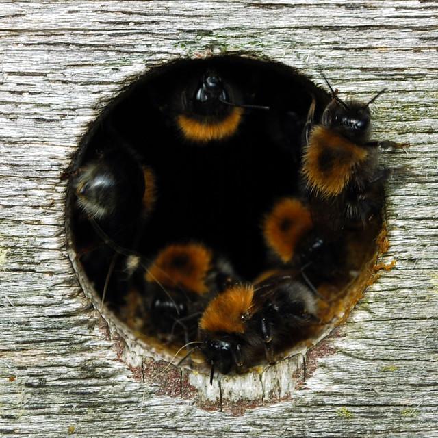 DSC_0293-bumbles-in-birdbox