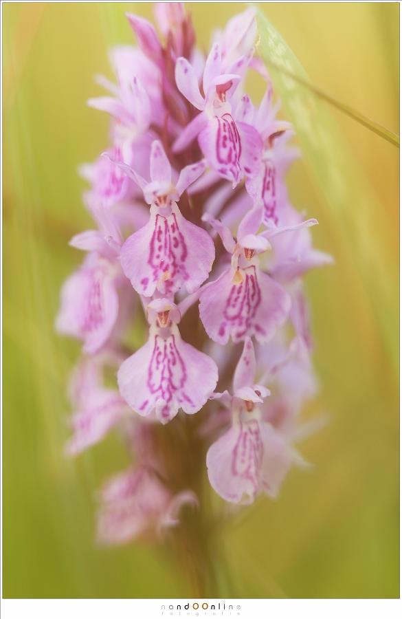 Detailopname van de gevlekte orchis