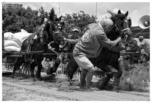 Tir i arrossegament en Algemesí 5 by ADRIANGV2009