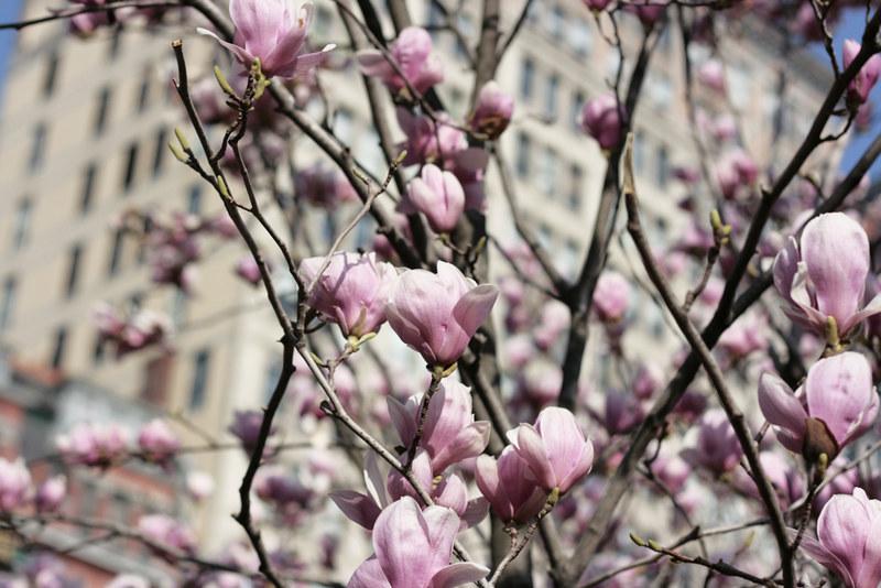 magnolias5