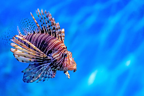 #850D2179- Lonely Lion Fish